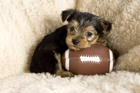 Six week old Yorkshire Terrier Puppy posing with a toy football, copy space