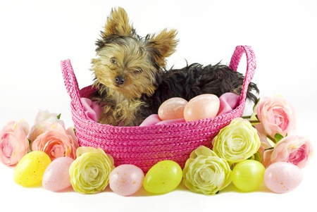 An adorable little four month old Yorkshire Terrier puppy in a pink basket with colored Easter Eggs and flowers, isolated on white background with