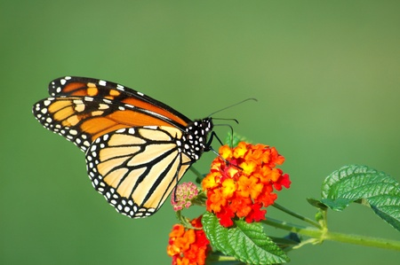 A beautiful Monarch Butterfly feeding on a Lantana bloom, horizontal with background space Stockfoto
