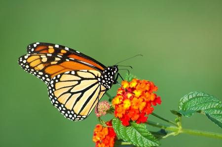 metamorfosis: Una hermosa mariposa monarca alimentan una floraci�n de Lantana, horizontal con espacio de fondo Foto de archivo
