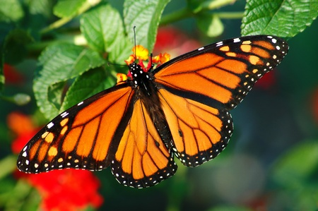A beautiful Monarch butterfly with vibrant color, feeding on a Lantana bloom
