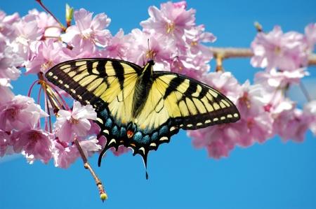 amarillo y negro: Una hermosa Tiger Papilionidae en un árbol de cerezo llorando en primavera, copiar espacio