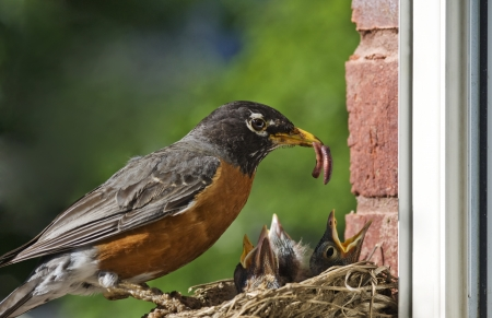 A mother Robin feeding a worm to her babies, closeup with selective focus, horizontal with copy space