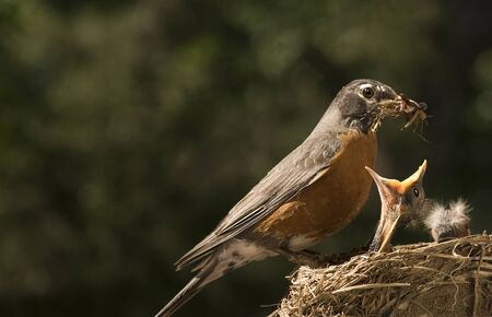 A Mother Robin feeding her baby, horizontal with shallow depth of field, copy space