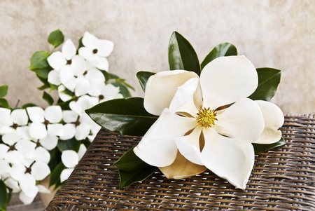 A beautiful large Magnolia bloom on a table with white Dogwood blooms in the background, shallow depth of field with copy space photo