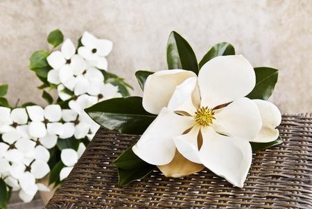 Una bella flor de Magnolia grande en una tabla con flores blancas de Cornejo en el fondo, una profundidad superficial de campo con espacio de copia
