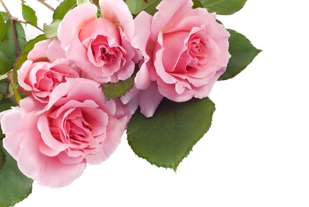 Four home grown petite pink roses isolated on white background with copy space