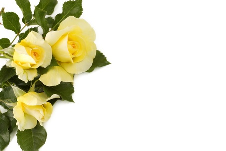 grown: Three petite home grown yellow roses isolated on a white background with copy space Stock Photo