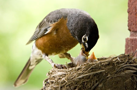 Mother Robin feeding her babies worms, copy space