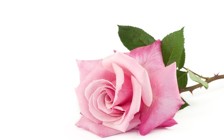 grown: A large home grown pink rose isolated on white background with copy space