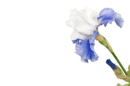 A blue and white Hybrid Iris on a white horizontal background with copy space