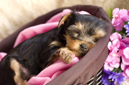 yorkshire terrier: A closeup shot of a Yorkshire Terrier puppy sleeping