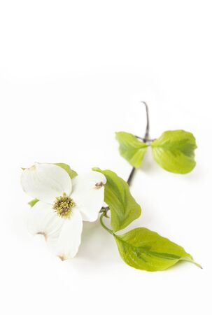 A white Dogwood bloom isolated on a white vertical background with focus on center of flower Imagens