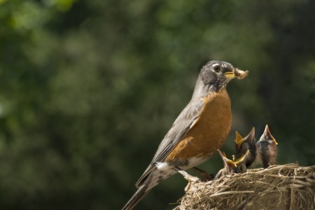 A mother Robin feeding her babies worms, shallow depth of field with selective focus, horizontal with lots of copy space