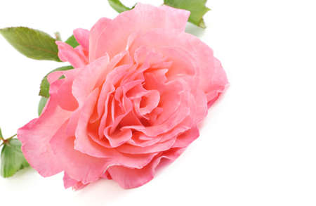 home grown: A beautiful home grown pink rose on a white background with lots of copy space