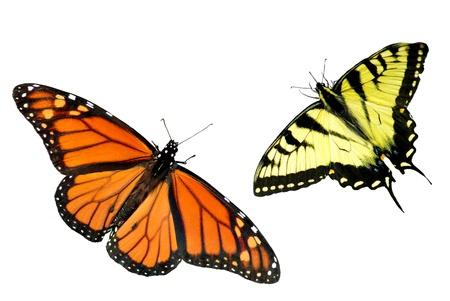 metamorfosis: Una hermosa monarca y Tiger Papilionidae aislados en fondo blanco con espacio de copia