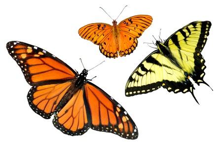 metamorfosis: Un tigre Papilionidae, Golfo aurinia y mariposa monarca aislados en fondo blanco con espacio de copia Foto de archivo