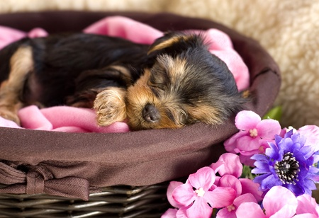 A six week old Yorkshire Terrier puppy slieeping in a basket photo
