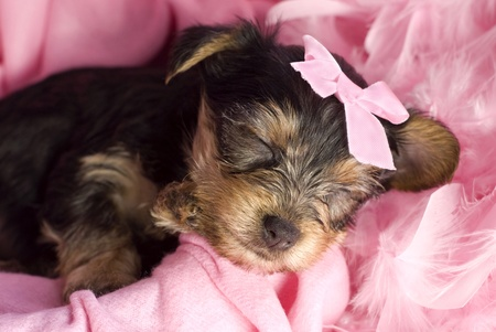 A female Yorkshire Terrier puppy sleeping closeup with pink bow, boa, and blanket