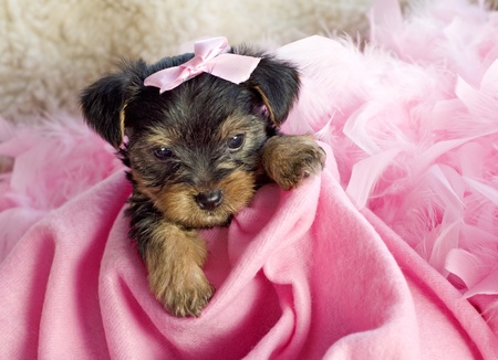An adorable six week old female Yorkshire Terrier Puppy with pink blanket and pink hair bow, copy space photo