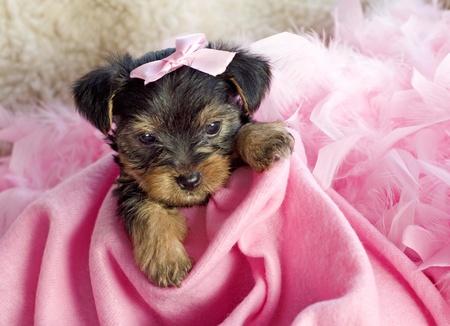 bow hair: Un adorable seis semanas de edad perrito Yorkshire Terrier femenina con manta Rosa y pelo Rosa arco, copiar espacio