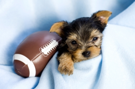 A precious Yorkshire Terrier Male Puppy with blue blanket and football, copy space Archivio Fotografico