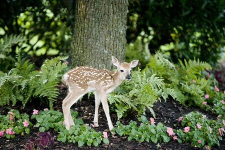 A cute little baby deer standing in a landscaped flowerbed in the shade photo