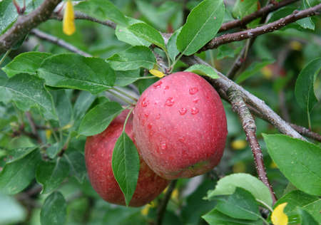 Apples Ready for Harvest, Londonderry New Hampshire
