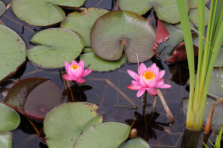 freeport: Two Pink Water Lilies in Freeport, Maine