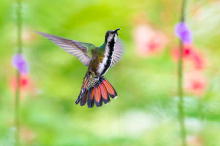 A female Black-throated Mango hummingbird hovering with her tail flared looking at the camera with flowers blurred in the background. Hummingbird in flight. Wildlife in nature.