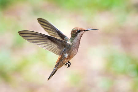 A female Ruby Topaz hummingbird hovering with a lightly colored pastel background. Wildlife in nature. Bird in flight. Bright colorful bird.