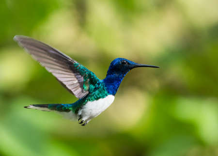 A White-necked Jacobin hovering in the air with a bokeh background. Wildlife in nature. Bird in flight. Bright colorful bird.