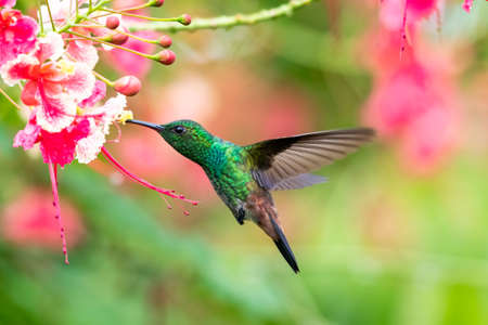 A Copper-rumped (Amazilia tobaci) hummingbird feeding on the Pride of Barbados flowers. Bird and flowers. Wildlife in nature. Colorful flowers. Hummingbird hovering