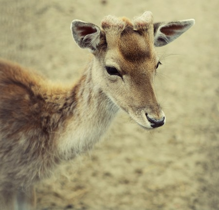 sika deer (lat. Cervus nippon) doe. summer time photo