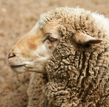 woolly: woolly sheep in zoo, summer time Stock Photo