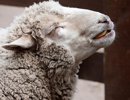 woolly: woolly sheep  Stock Photo