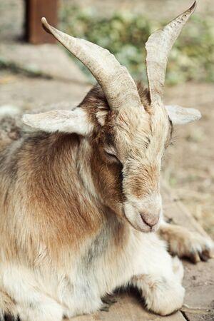 beige goat in zoo photo