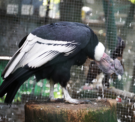 bald ugly: Condor in zoo, summer day