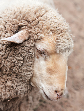 woolly: woolly sheep in zoo, summer day Stock Photo