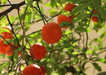 naranja arbol: �rbol de naranja en la calle grecia Foto de archivo