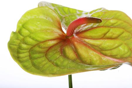 anthurium: Green Anthurium. Isolated on white. Stock Photo