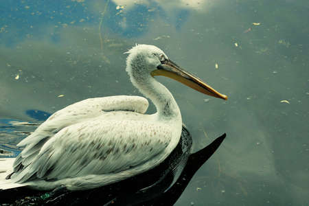 onocrotalus: White Pelican - Pelecanus onocrotalus Stock Photo