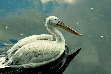 pelecanus: White Pelican - Pelecanus onocrotalus Stock Photo