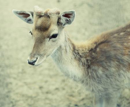 sika deer: sika deer (lat. Cervus nippon) doe , summer day
