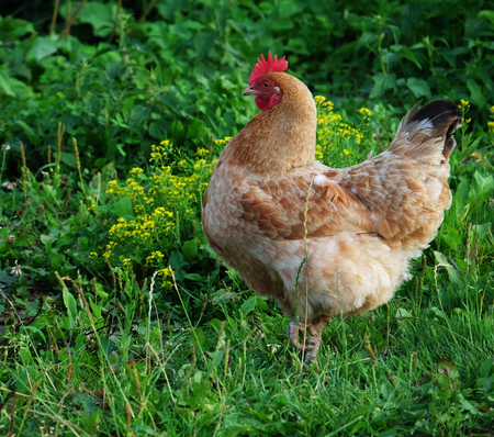 cluck: Cock and hens walking on the grass, summer time Stock Photo