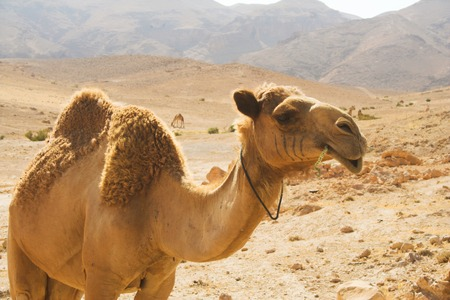 camel in desert summer day