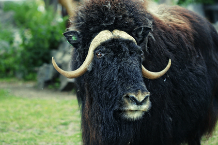 portrait of an angry musk ox with big horns Stock Photo