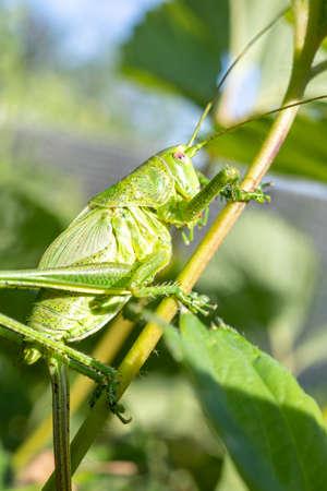 Great green bush-cricket male. Tettigonia viridissima. Closeup