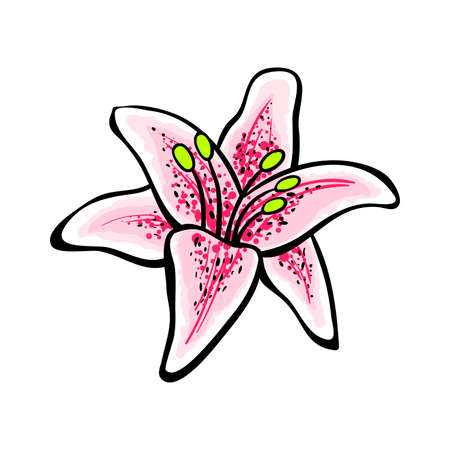 brigth: Hand drawn pink lily on the white background. Vector illustration Illustration