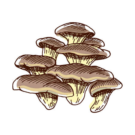 Color sketch of oyster. Hand drawn mushrooms isolated on white background. Vector illustration